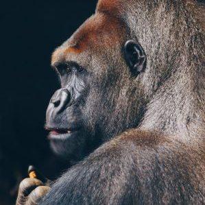 Gorillafoto