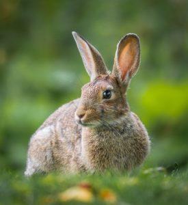 Ein Hase im Gras. Sehr niedlich.